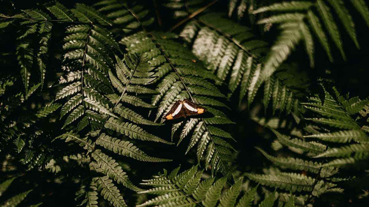 Folhas de mamambaia e borboleta repousando sobre uma delas