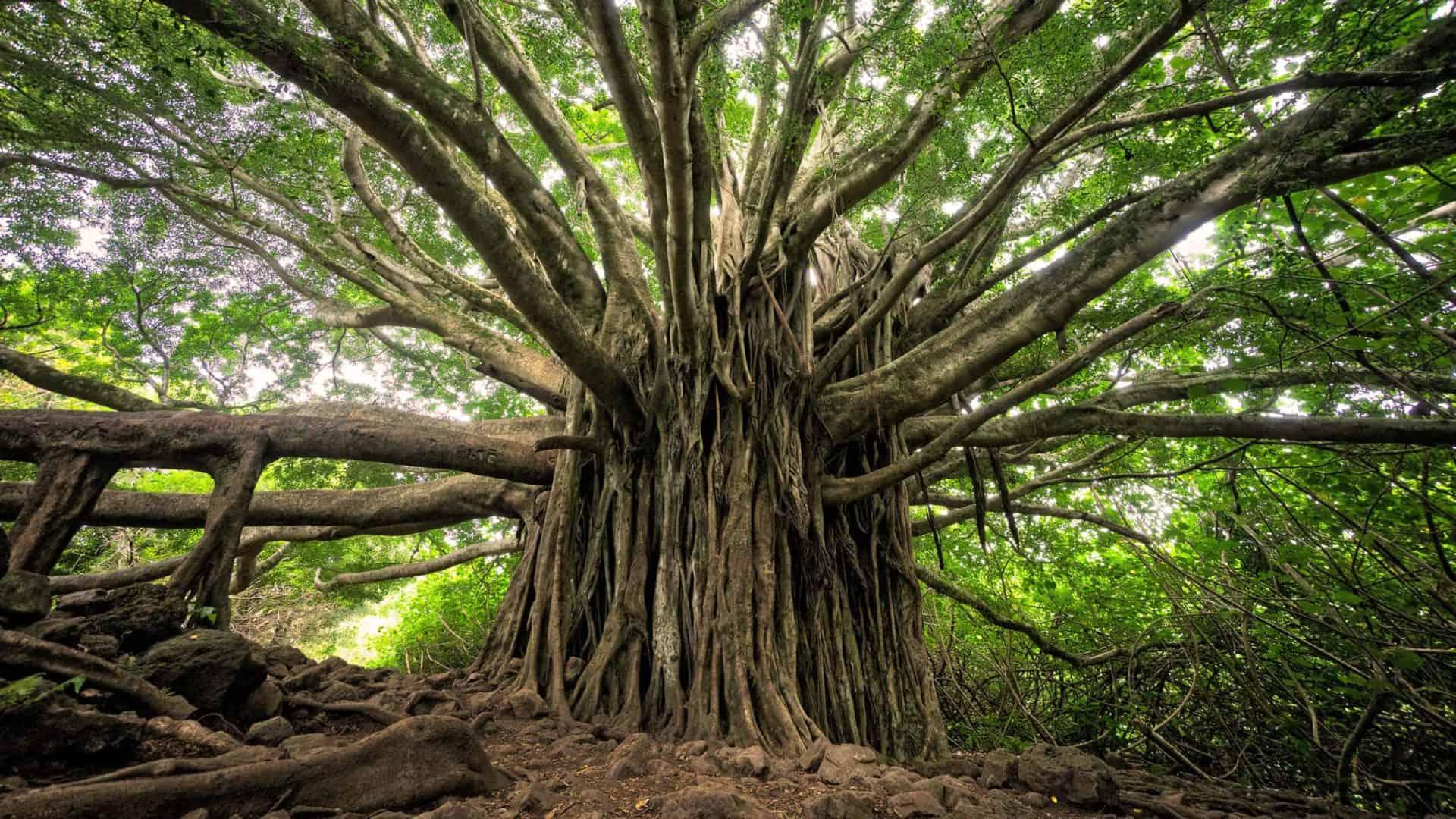 Árvore ancestral no meio da floresta, com galhos extensos, copa volumosa e muitos cipós no tronco. Foto: Brandon Green