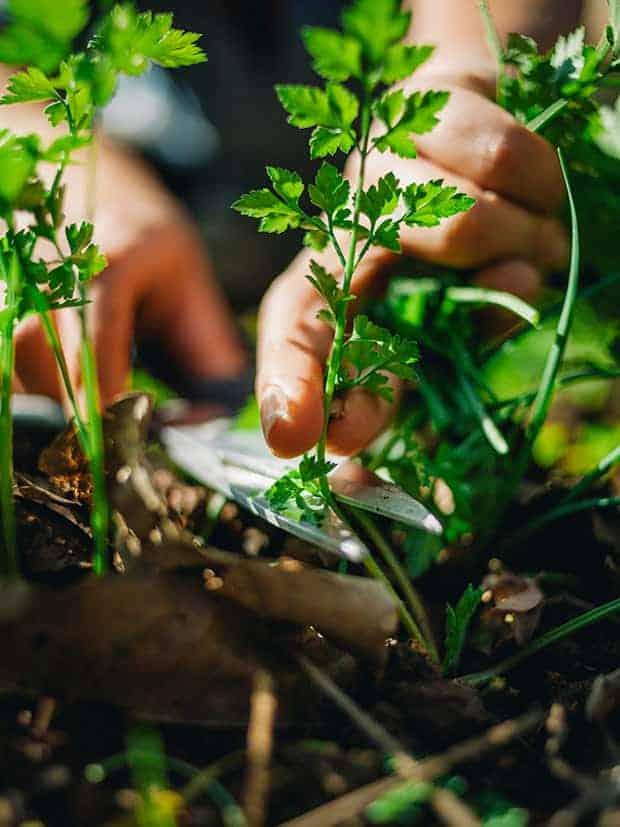 Salsinha sendo colhida da terra. Foto: arquivo pessoal da chef de cozinha Lis Cereja