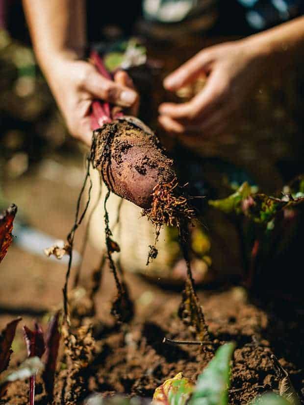 Beterraba sendo colhida da terra. Foto: arquivo pessoal da chef de cozinha Lis Cereja