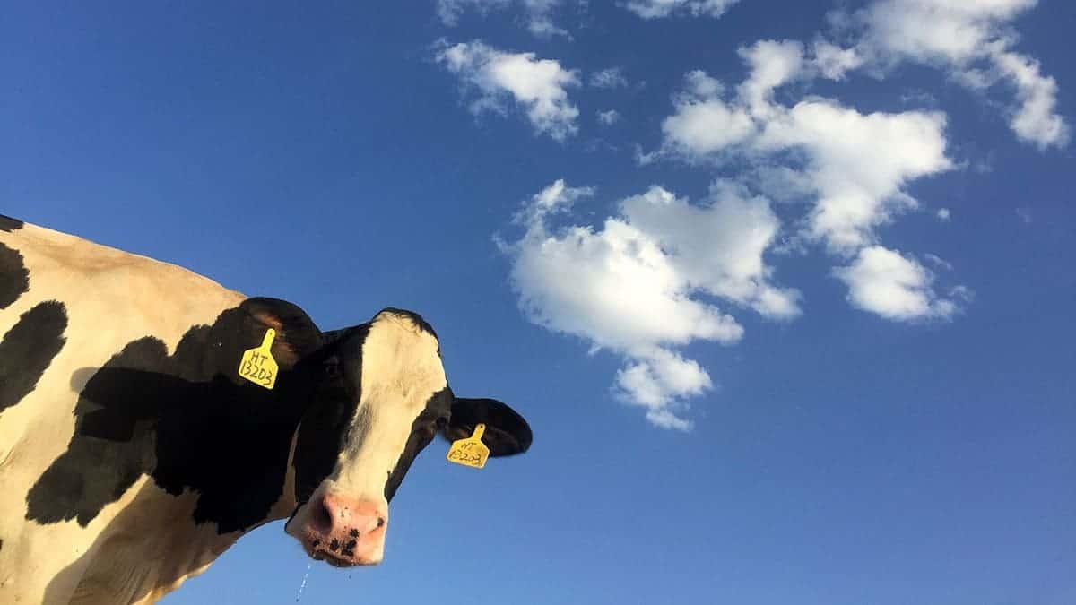 Vaca olha pra câmera, atrás dela um fundo de céu