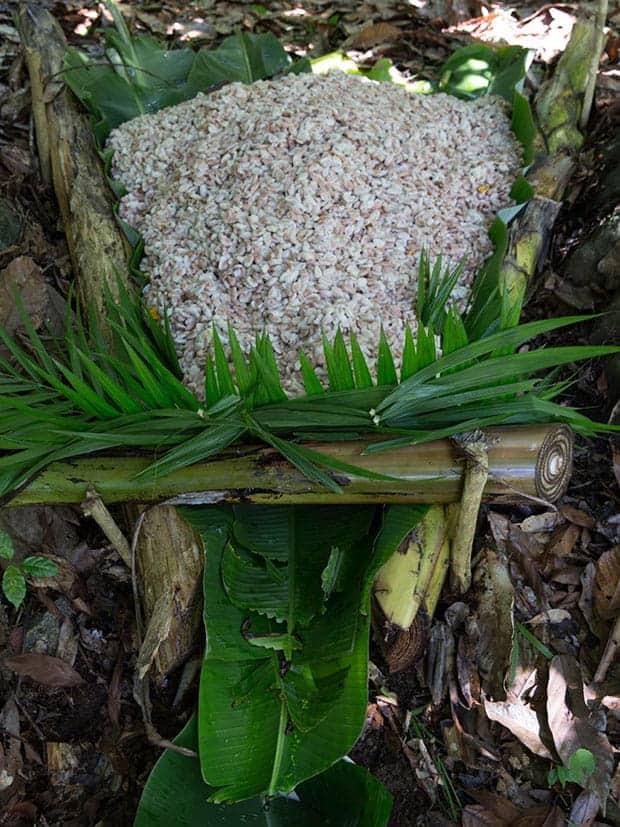 Processo de extração do mel das sementes de cacau. Foto: Amma Chocolate (Divulgação)
