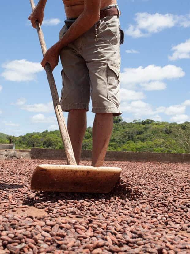 Homem secando as sementes de café ao sol. Foto: Amma Chocolate (Divulgação)
