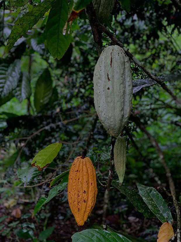 Frutos de cacau no pé. Foto: Gabriel Cabral