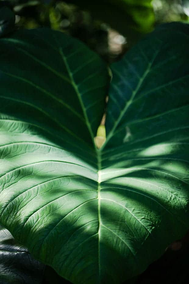 Folha de taioba na mata