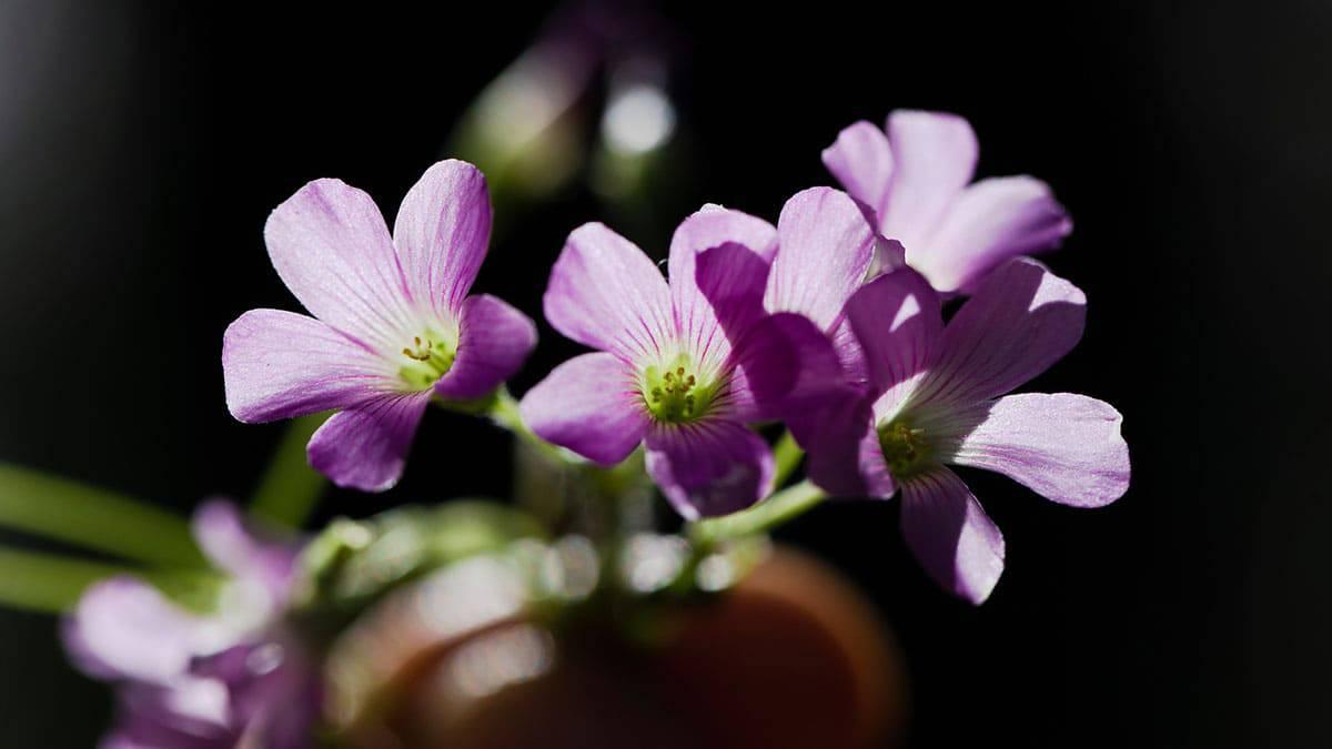 Flore de trevo-azedo ou azedinha,um tipo PANC (Planta Alimentícia Não Convencional)