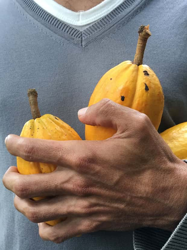 Mãos de pequeno produtor seguram frutos de cacau