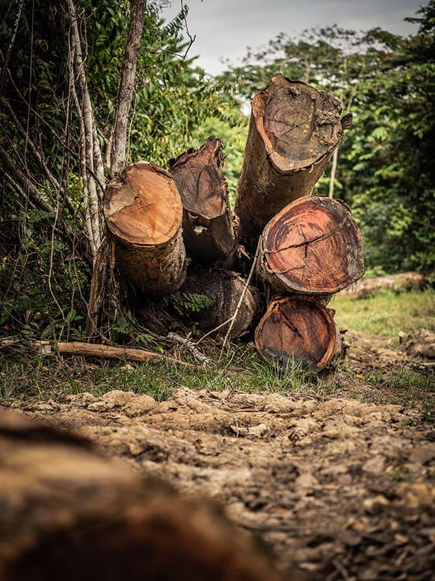 Troncos de árvores, resultado de desamatamento próximo à BR 319, estrada em construção na Amazônia