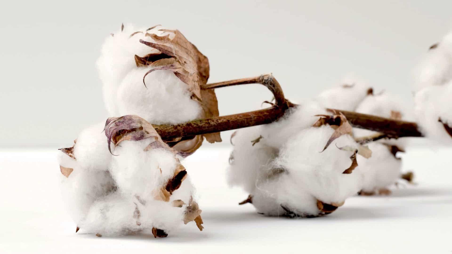 flor de algodão crú