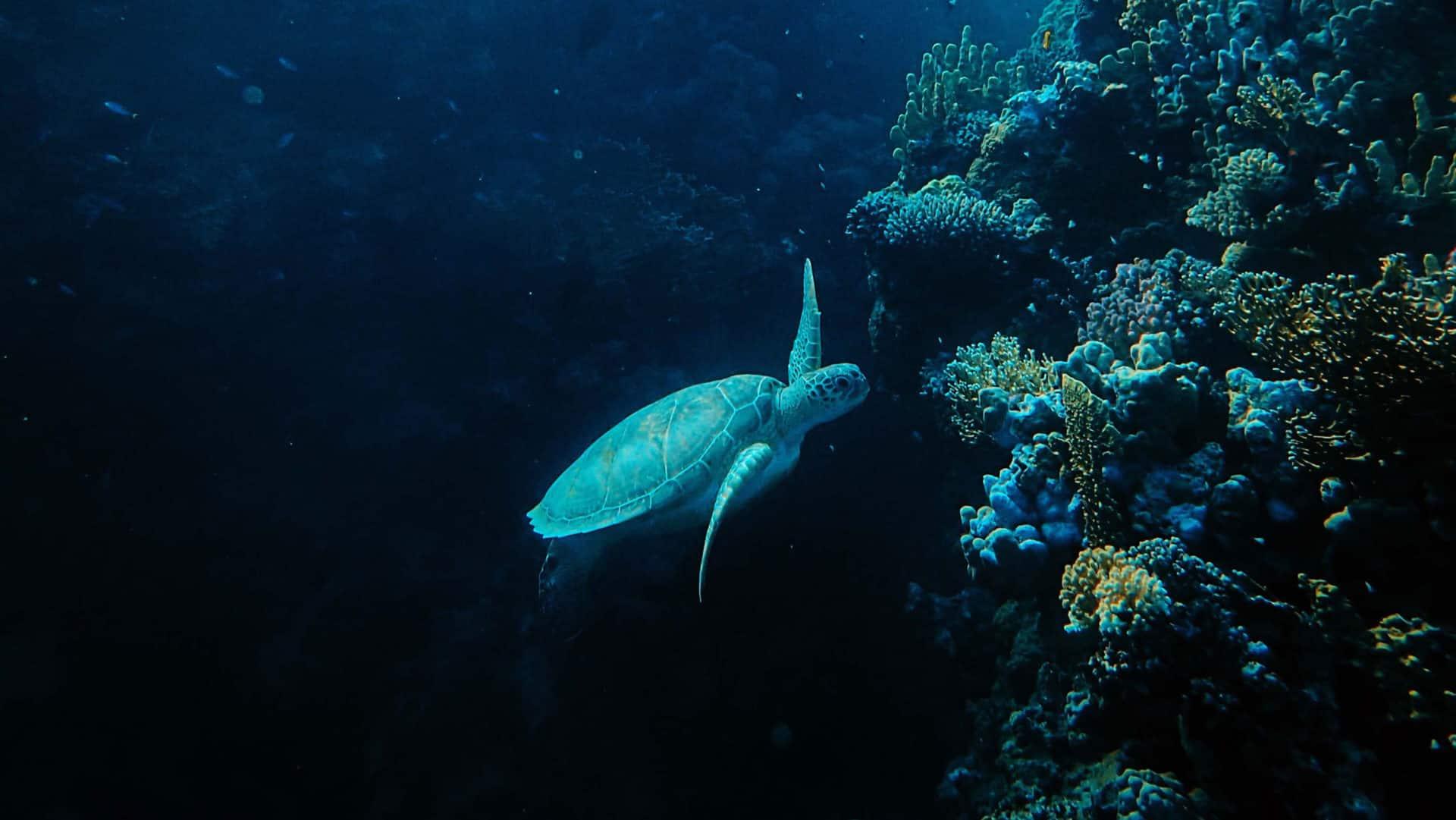Tartaruga marinha nadando próxima à corais. Foto: Francesco Ungaro
