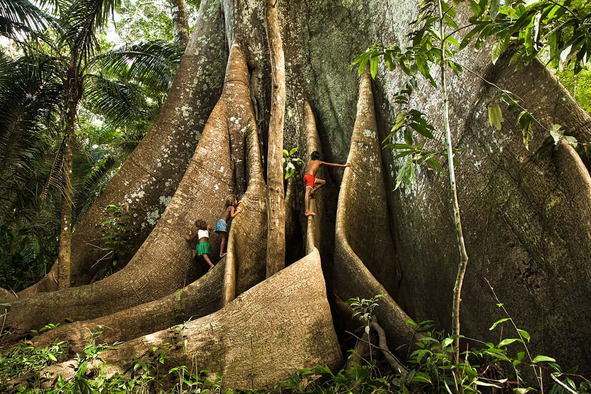 Crianças brincam nas enormes raízes da árvore Samaúma. Foto: Araquém Alcântara