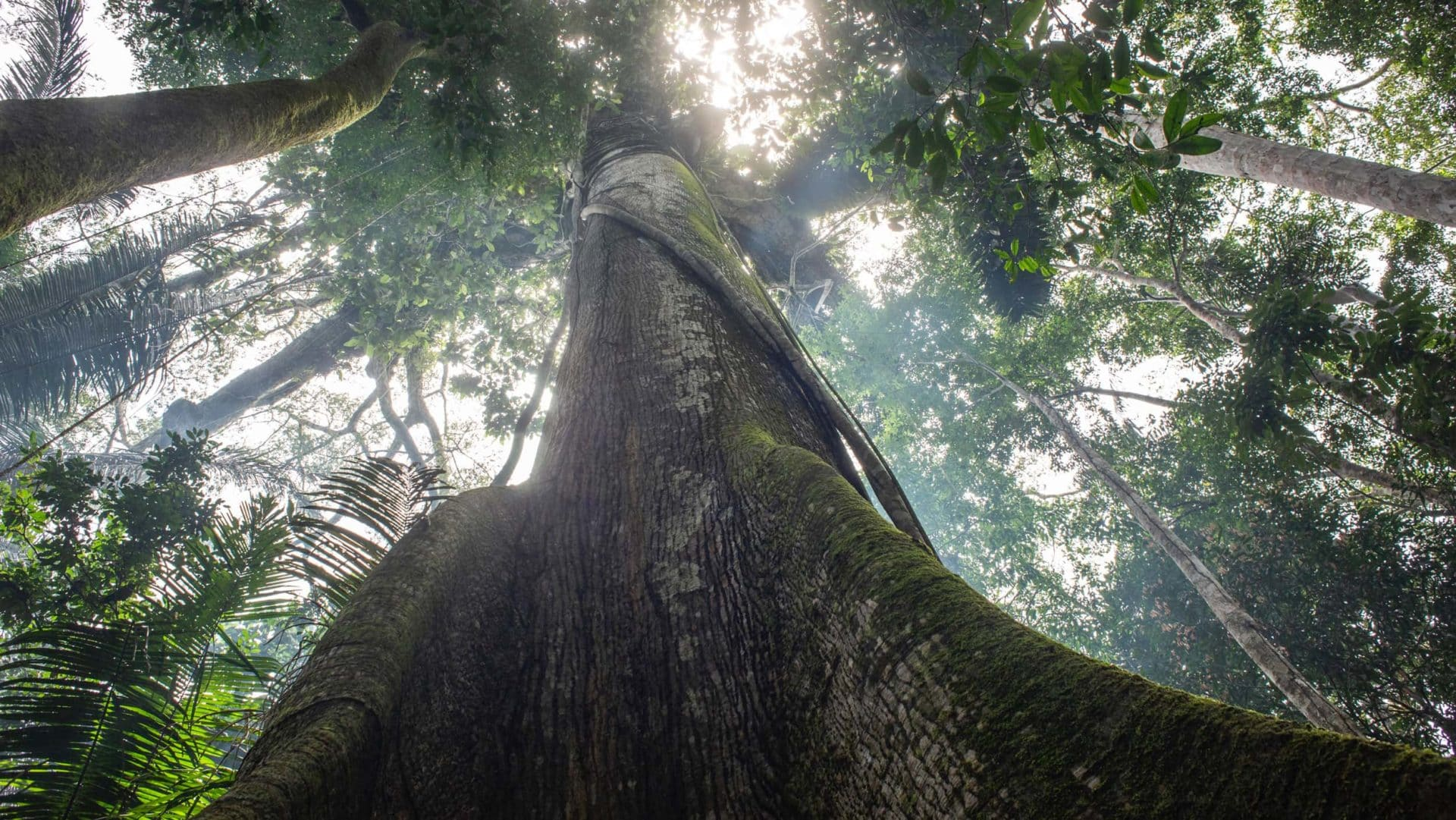 A árvore Samaúma vista de baixo para cima. Foto: Camilla Coutinho