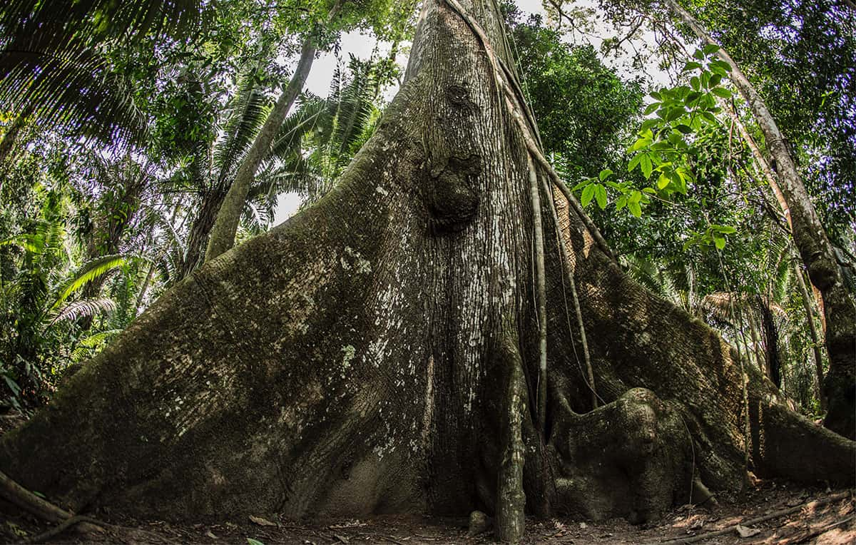 Raízes da Samaúma e início do tronco da árvore símbolo da Amazônia. Foto: Camilla Coutinho